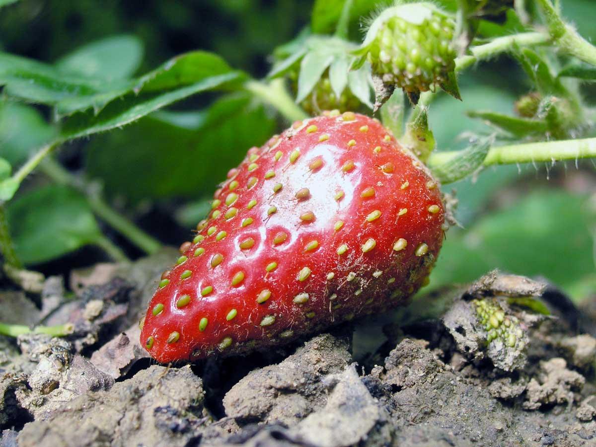 Erdbeere oder Erdnuss